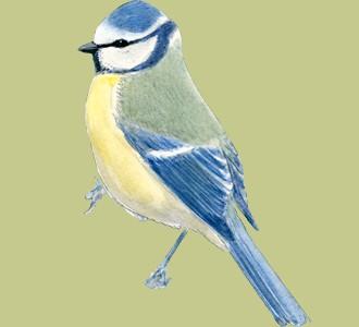 Einen Vogel von der Art blaumeise aufnehmen