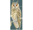 Waldohreule - Gefieder 12