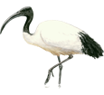 Heilige Ibis - Gefieder 65