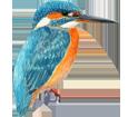 Eisvogel - Gefieder 1