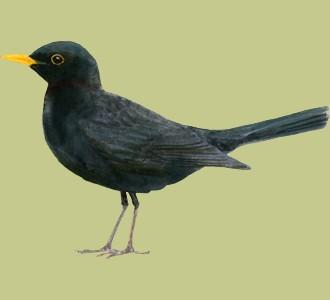 Einen Vogel von der Art amsel aufnehmen