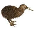 Kiwi - Gefieder 52