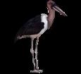 Marabú africano - Gefieder 5